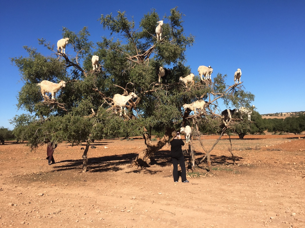 Three Leadership Lessons From Tree Climbing Goats
